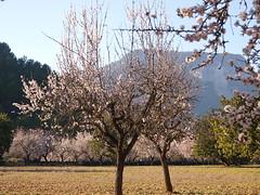 Almendro en flor (tramuntanauta) Tags: winter white flores flower blanco landscape flor paisaje mallorca blanc paissatge baleares paisatge almendros balearic bloosom illesbalears ametller majorica