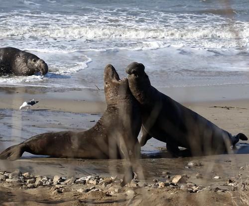 Bull Seals