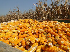 Maize harvest at Tlaltizapn, Mexico (CIMMYT) Tags: plant planta yellow corn harvest amarillo research ear cosecha agriculture cob maize plot mazorca agricultura parcela researchstation maz investigacin tlaltizapn experimentstation cimmyt estacinexperimental estacindeinvestigacin