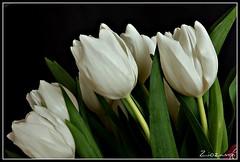 .. tulipani bianchi #03 ..  (Shot__1982 F) (Ziozampi) Tags: canon eos flora italia inverno padova veneto favset 2011 eos450d 450d fioriepiante xpool 02febbraio cameraeos oneofmypics imgdigitale allegrisinasceosidiventa thegalleryofflowerseffe thelargestgroupintheworld gffotodelgiorno
