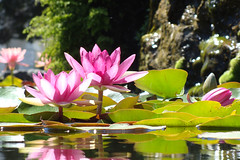 Water lilies #2 (Home Land & Sea) Tags: pink flowers newzealand macro waterlilies nz napier pointshoot sonycybershot hawkesbay lilypond clivesquare dsch3 homelandsea
