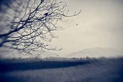 Raven Fields (laura_bostonthek) Tags: trees winter lensbaby walks traintracks fields ravens ladenburg