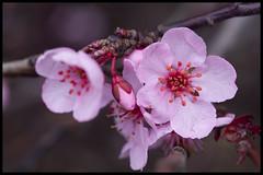 (Eric Flexyourhead (YVR catch-up mode!)) Tags: pink canada macro vancouver spring bc blossom bokeh britishcolumbia vibrant plum vivid colourful granvilleisland ume  granvilleislandpublicmarket zd 50mmmacro20 50mmmacrof20 olympusep1 panasonicdmwma1