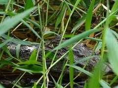 DSC04451 (beech22) Tags: holiday water animal swimming river costarica reptile riverbank caiman limon behaviour spectacledcaiman tortugueronationalpark crocodilia dschx1