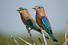 Indian Roller-pair (Gurusan2010) Tags: birds tamilnadu valentinesday indianroller coraciasbenghalensis tamilnadubirds sigma120400