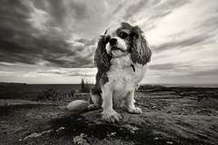 Oscar (Sam Lodge) Tags: ocean sunset sea sky blackandwhite dog pet white black cute animal clouds canon puppy coast oscar flash sigma dogpark 1020mm coogee 550d