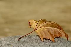 Foglia (luporosso) Tags: naturaleza macro nature closeup leaf natura foglia gmt naturalmente luporosso nikond300s theauthorsplaza gigilivornosfriends