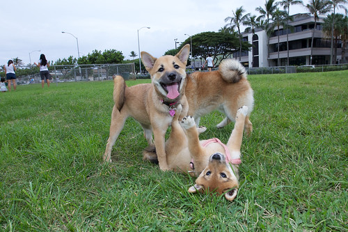 Photos from our February 2011 Shiba Inu Hawaii Playdate!