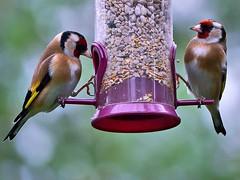 Pair of Goldfinches (louisberk.com) Tags: feeding pair goldfinch panasonicgh2 panasoniclumix100300