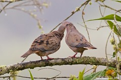 Torcaza Naguiblanca-Zenaida auriculata-Eared Dove (rafyrodriguezphotography) Tags: eareddove zenaidaauriculata torcazanaguiblanca