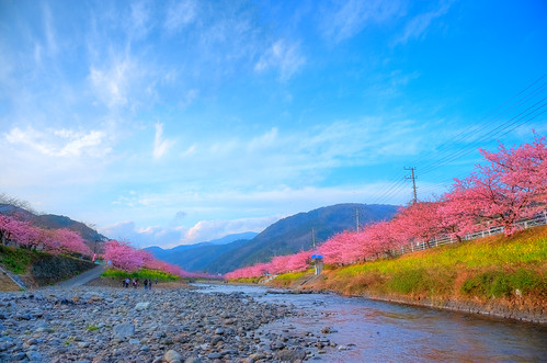Kawadu sakura 2011 (cherry blossom)