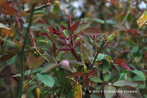 Spring growth on Mutabilis rose