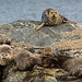 Harbour Seals (Paul Marshall)