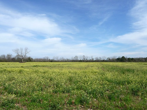 Field of Yellow - Baker, FL