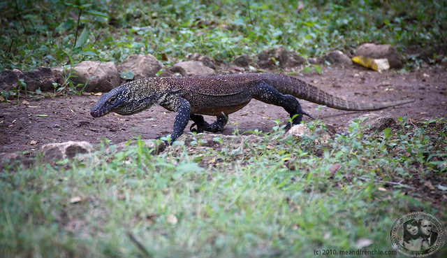 Our First Komodo Dragon!