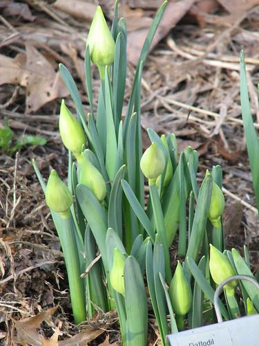 'Von Sion' daffodils
