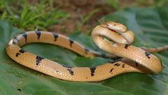 Tiger Snake (Telescopus semiannulatus) (cowyeow) Tags: africa tongue southafrica display reptile snake african tiger safari strike coil striking snakes defense herp krugernationalpark reptiles herps flicker kruger venomous coiled flickering venom herpetology tigersnake coiling herping snakehunting rearfanged rearfang africansnake telescopus africasnake africaherpetology semiannulatus telescopussemiannulatus