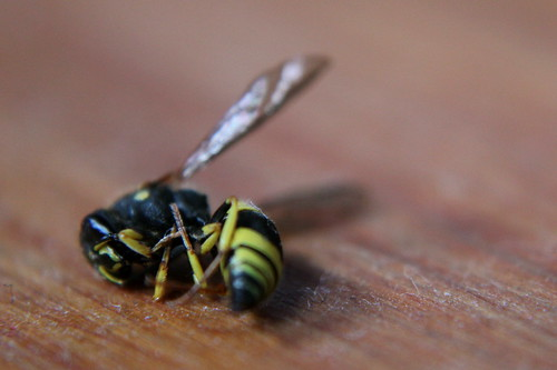 Sunday: Wasp