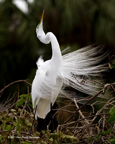 _MG_7158_030611_Great White Egret