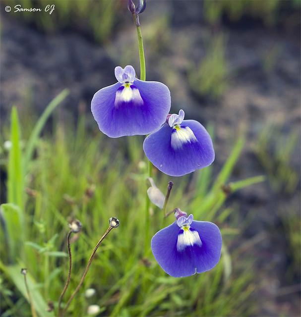 Utricularia Pururascens