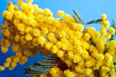 054/365: l'8 marzo (crembosco) Tags: donna colore giallo mimosa azzurro 8marzo project3659