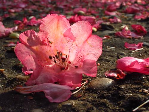 Blossom Path in Cannizaro Park
