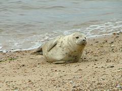On The Beach (Yorkshire's Finest) Tags: suffolk seal felixstowe landguardpoint
