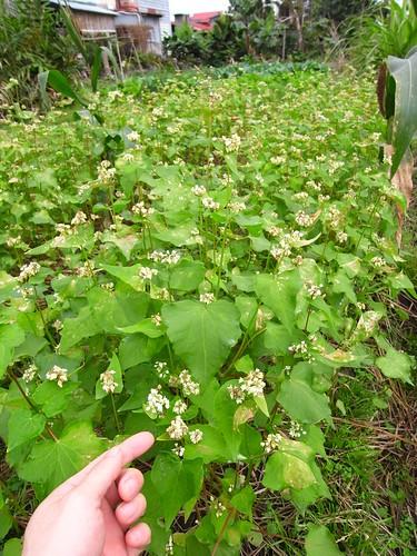 鳳林自然農 蕎麥開花
