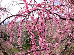 Ume flower (INZM.) Tags: flower japanese spring apricot ume  japaneseapricot