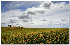 Pondering Sunflowers... (Simon Diete) Tags: trees house field clouds rural landscape nikon shadows farm fluffy bluesky sunflowers vibrance fluffyclouds whispyclouds blueribbonwinner coth supershot 1xp abigfave impressedbeauty d700 nikond700 flickrclassique photoshopcs5 simondiete ponderingsunflowers