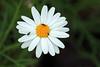Busy (by_irma) Tags: park white flower green yellow buzz whiteflower groen busy tenerife santacruzdetenerife daisy geel wit bloem madeliefje flowersarebeautiful buzznbugz