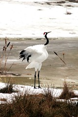 White Naped Crane (Grus vipio) (macca_1985) Tags: zoo sweden sverige chrismclean nordensark canon70300f456 nordens canoneos550d