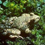 負子蟾蜍的公蟾蜍會揹負受精卵並保護、照顧受精卵直到孵化為止 。圖片節錄自:Alamy/英國獨立報。