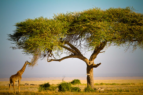 Why Tortilis Trees Grow Tall by The.Rohit