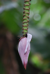 Fleur de Bananier (Drics67) Tags: fleur landscape paysage runion bananier entredeux