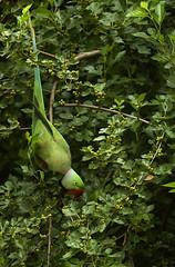 Acrobatic Polly (Shubh M Singh) Tags: light red portrait india green bird love monochrome nikon alone walk parrot parakeet d200 alexander punjab nikkor chandigarh himalyas alexandrine thegreat