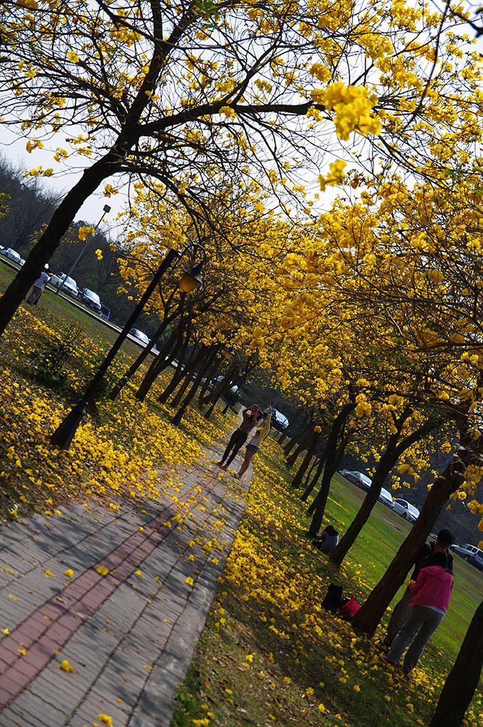 中正大學圖書館旁的黃花風鈴木