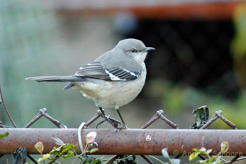 Northern Mockingbird (Mimus polyglottos)-39.jpg