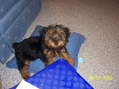 Puppy Chewy (Julie Le Venhagen!) Tags: 2005 puppy mutt mix terrier poodle chewbacca yorkiepoo