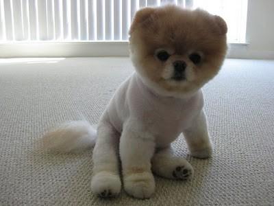 boo_Pomeranian_Dog_44