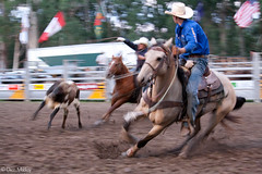 Team Roping (Deon Mackay Photograpy) Tags: life travel horse music hat bareback spurs pain team cowboy mud boots barrels country stock hard hats horns 8 rope flags bulls dirt header rodeo steer cockatoo dust clowns cowgirls rider crowds swags buckles bronc seconds skill hoofs roping competitor areana bulfighting barrelrace saddlebronc hazer chapsrope