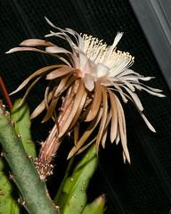 Peniocereus cuixmalensis - 2010-07-12-_DSC1885 (jakobae) Tags: pflanzen cactaceae kakteen peniocereus bltenpflanzen spermatophyta samenpflanzen infloreszenz magnoliophytina bedecktsamigepflanzen 01jakob locchzhgossaurjb blteblten gartenundgewchshauspflutiere bltenstandblten gartenundgewchshaus pflutiere pflanzenteilmitblten angiospermaebedecktsamige