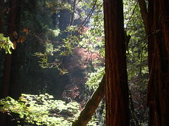 Muir Woods 5 (TheJulior) Tags: trees green ancient woods nikon muirwoods redwoods backlitleaves deepshadows
