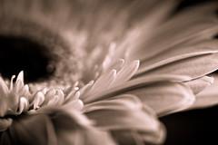dance me, to the end of love. (tumbleweed.in.eden) Tags: bw flower macro canon petals dof hss 500d canonefs60mmf28macrousm t1i sliderssunday currentlywowedbythecivilwarsremakeofthatoldleonardcohenclassicneverthoughtanyonewouldimproveonmadelinesversion stillmilkinthesedaisies mybwportraitpoppreset