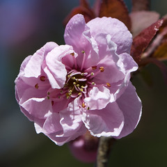 Flowering Plum (Vesuvianite) Tags: spring blossom floweringplum prunusblireana mygearandme