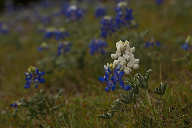 Albino Bluebonnet Field