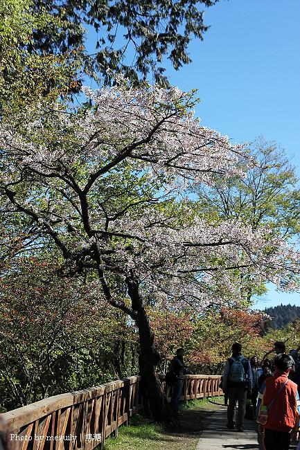 2011阿里山櫻花季晴天版12