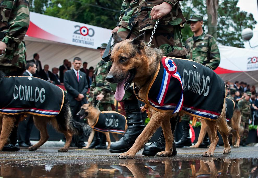 La Compañía Canina del Comando Logístico se llevo aplausos del público, chicos y grandes simpatizaron con la exhibición de estos canes amaestrados.  (Elton Núñez - Asunción, Paraguay)