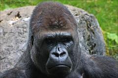 Mapema (Mantrize) Tags: zooduisburg zoo duisburg gorillas gorilas suwedi safiri momo mapema kiburi westernlowlandgorilla gorilaoccidentaldecosta gorilla gorila greatapes grandessimios