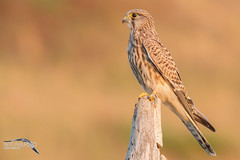 Kestrel sunset
